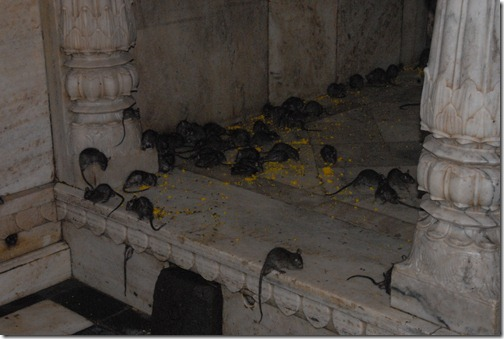 Rats Crawling around the Floor of the Karni Mata Temple (Rat Temple) near Bikaner, Rajasthan, India