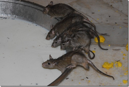 Rats drinking milk inside the Karni Mata Temple (Rat Temple) near Bikaner, Rajasthan, India
