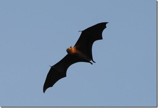 Seychelles Fruit Bats flying above Anse Soleil Beach, Mahé Island, Seychelles