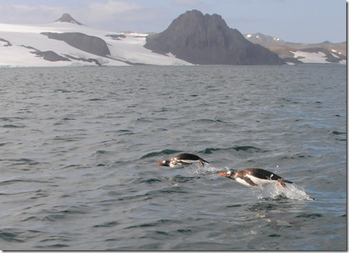 Gentoo penguins porpoising (leaping in the air) in the waters of Maxwell Bay, King George Island, Antarctica