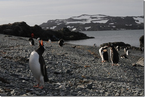 Gentoo penguins in the penguin rookery on Ardley Island, near King George Island, Antarctica
