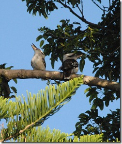 Laughing Kookaburras