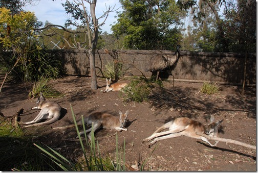 Kangaroos and Emus at the Taronga Zoo in Sydney, Australia