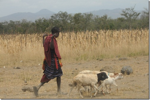 Masai goat herder along the road from the Airport to Marunga Gate, the start of our hike, near Moshi, Tanzania