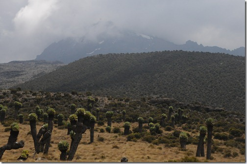 View of Mawenzi Peak on Kilimanjaro with scattered Giant Groundsel (Dendrosenecio keniodendron) plants in the foreground.