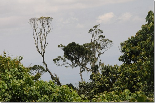 Trees in the jungle near the lower sections of the Marangu Route, Mount Kilimanjaro