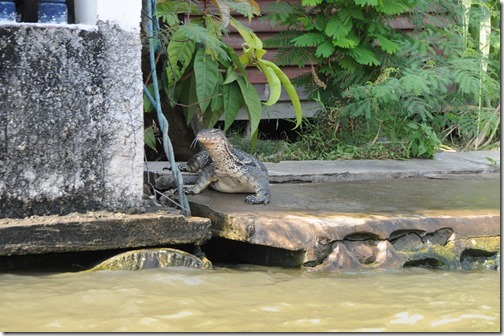 Large monitor lizard basking along the banks of a residential canal in Bangkok, Thailand