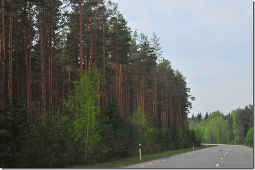 Baltic pine forest in Estonia